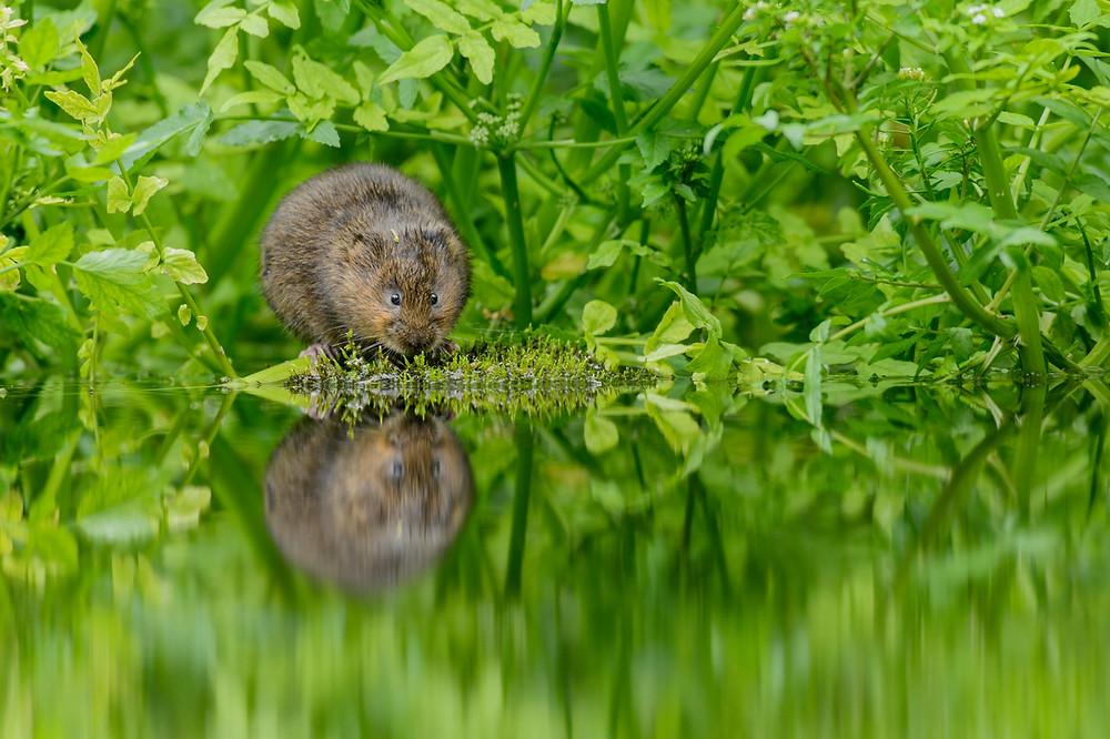 Water vole (Arvicola amphibius) feeding © naturepl.com / Terry Whittaker