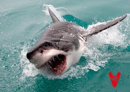 Salvar_al_tiburón_blanco_21
