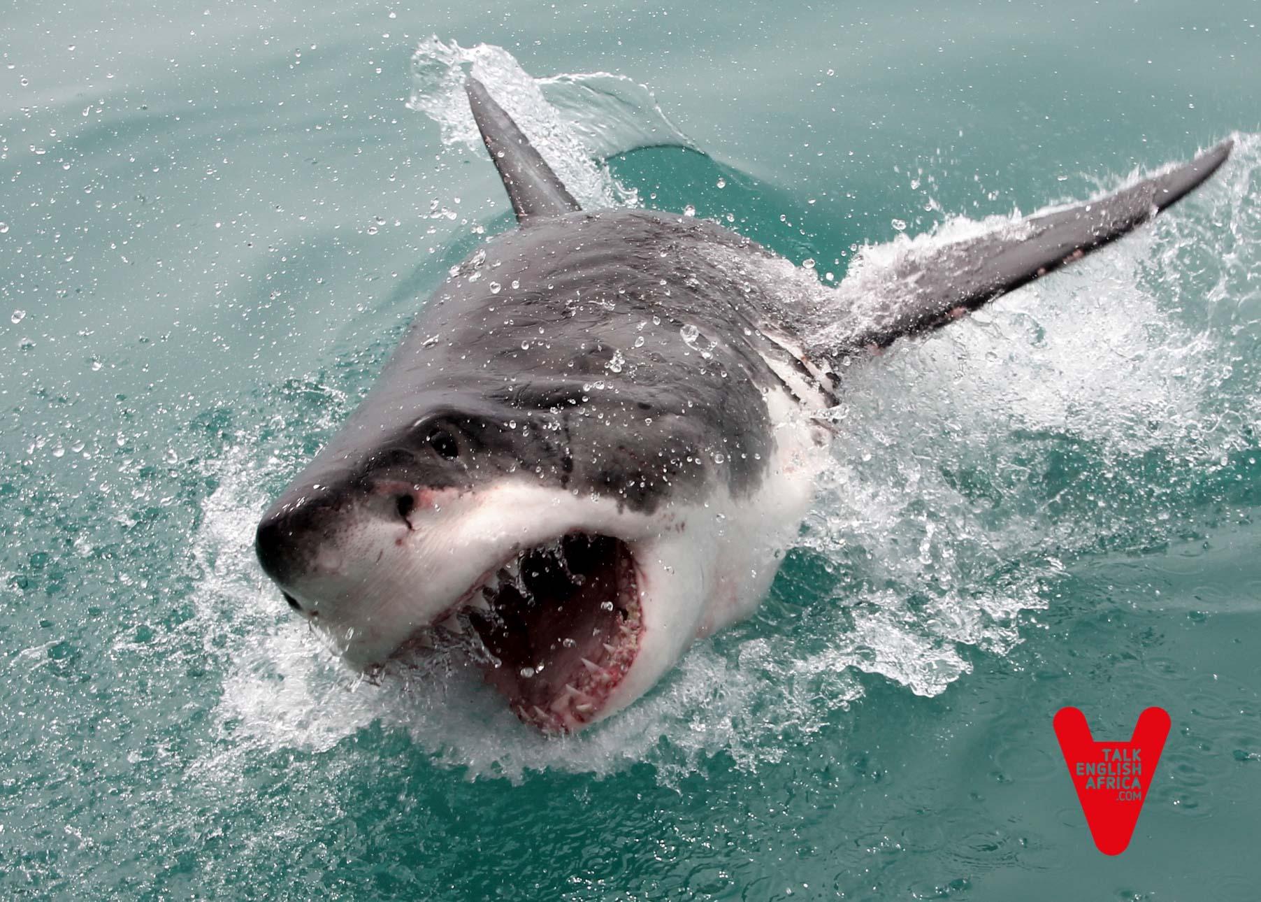 Salvar_al_tiburón_blanco_3