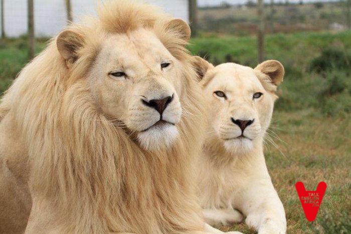 Salvar a los leones 37