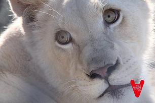 Voluntariado con leones