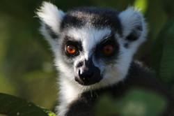 Ring Tailed Lemur Anja NP Madagascar