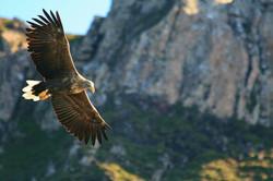 Sea Eagle, Scottish Highlands