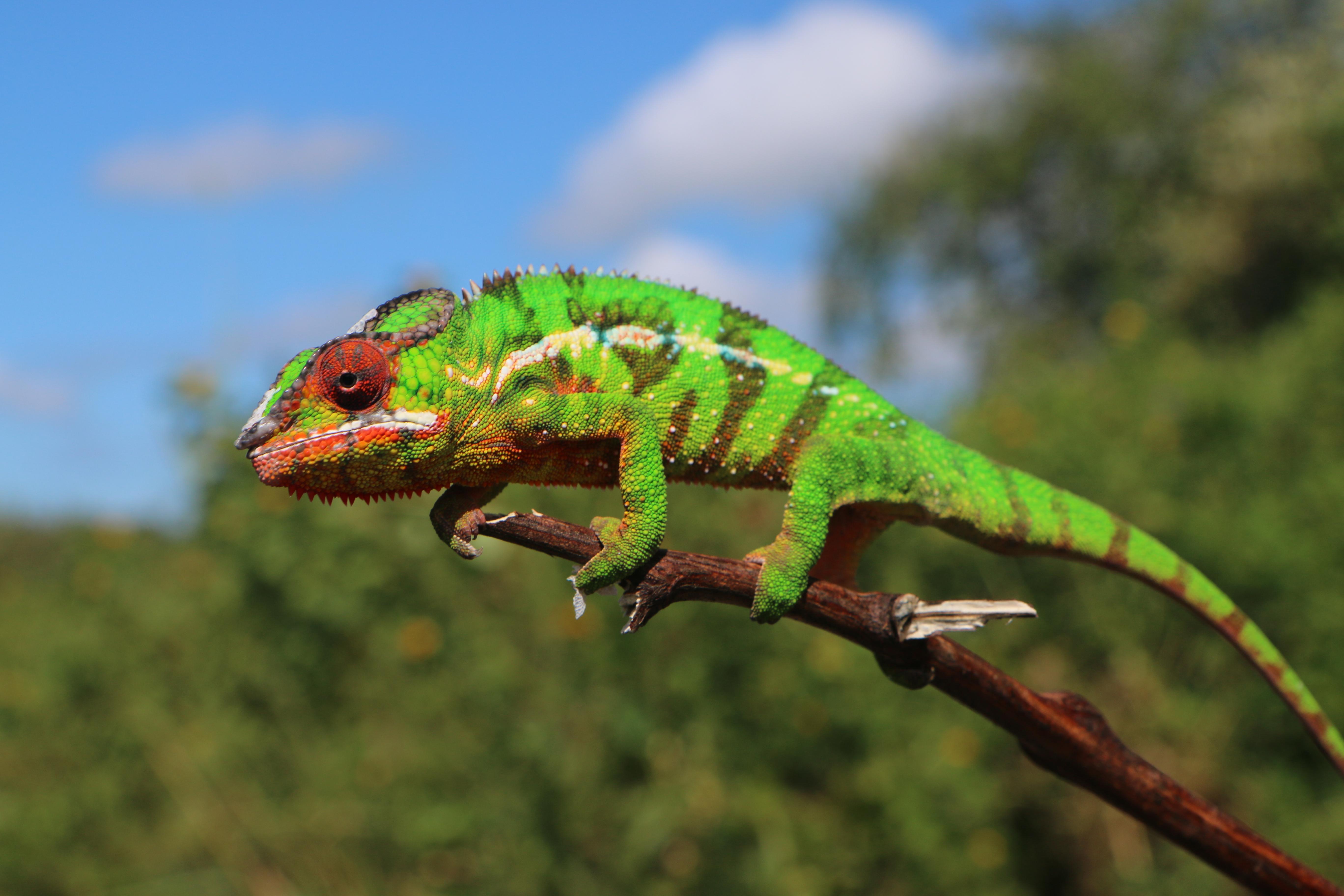 Chameleon, Diego Suarez, Madagascar