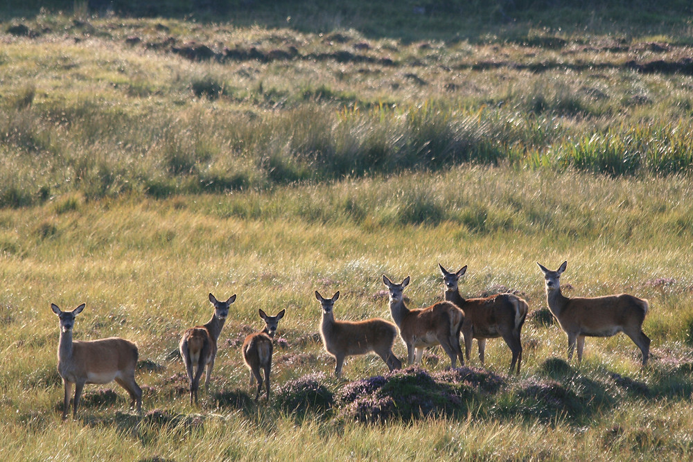Shy roe deers at sunset