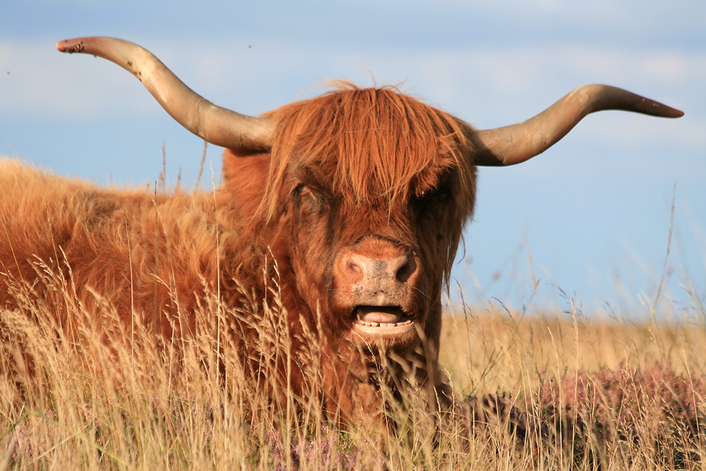Friendly Highland Cow chewing and looking stoic in the sunset.
