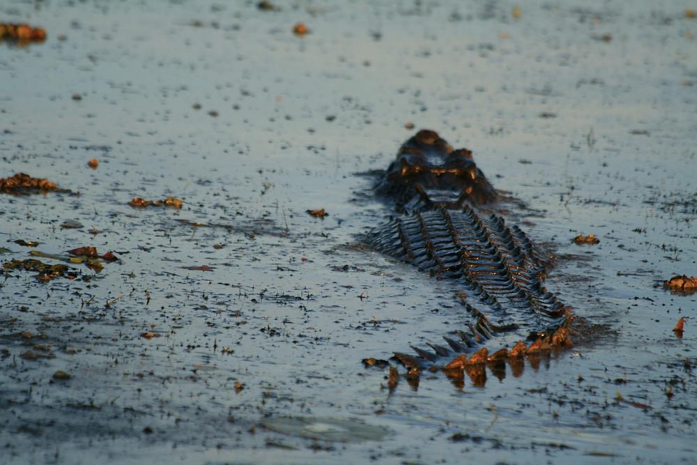 Saltwater crocodile in the morninglight