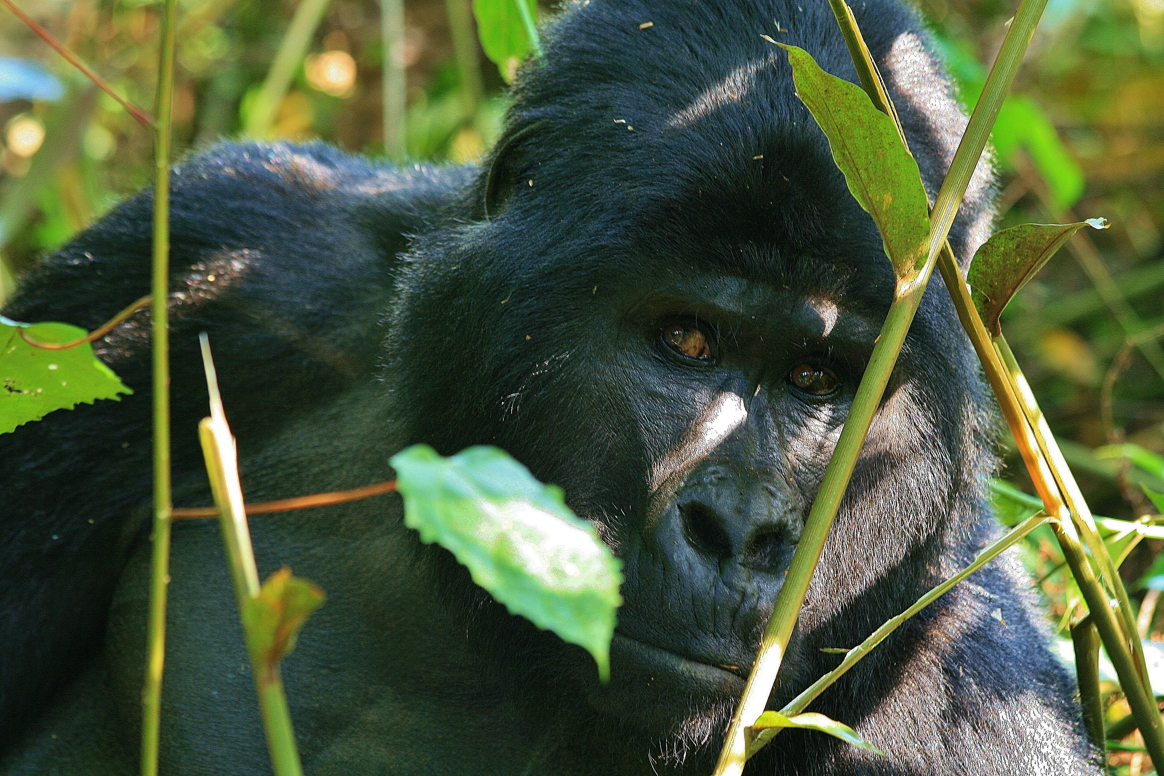 Mountain Gorilla, Bwindi Forest NP