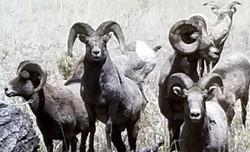 Bighorn sheep 2_edited