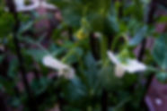Organic Kitchen Gardens, Pea Flowers