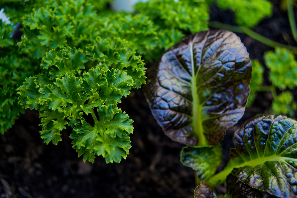 parsely, spring vegetable garden, herbs