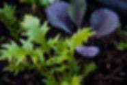 Organic Kitchen Gardens, Mizuna and baby Red Cabbage