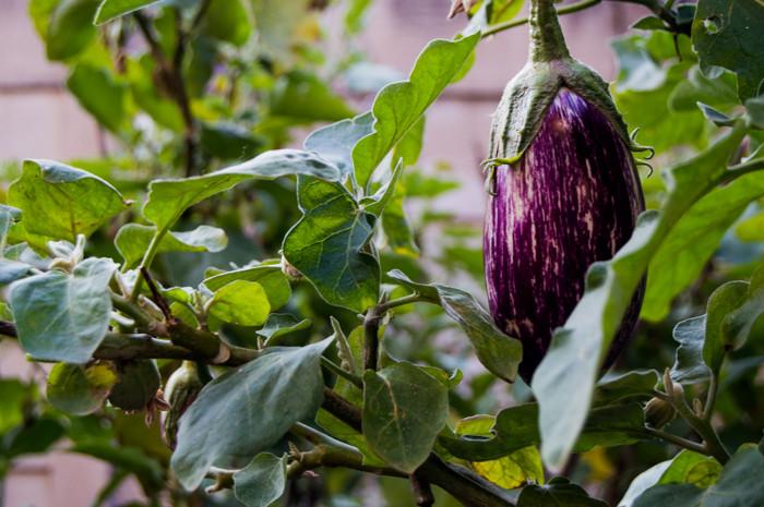 heirloom eggplant