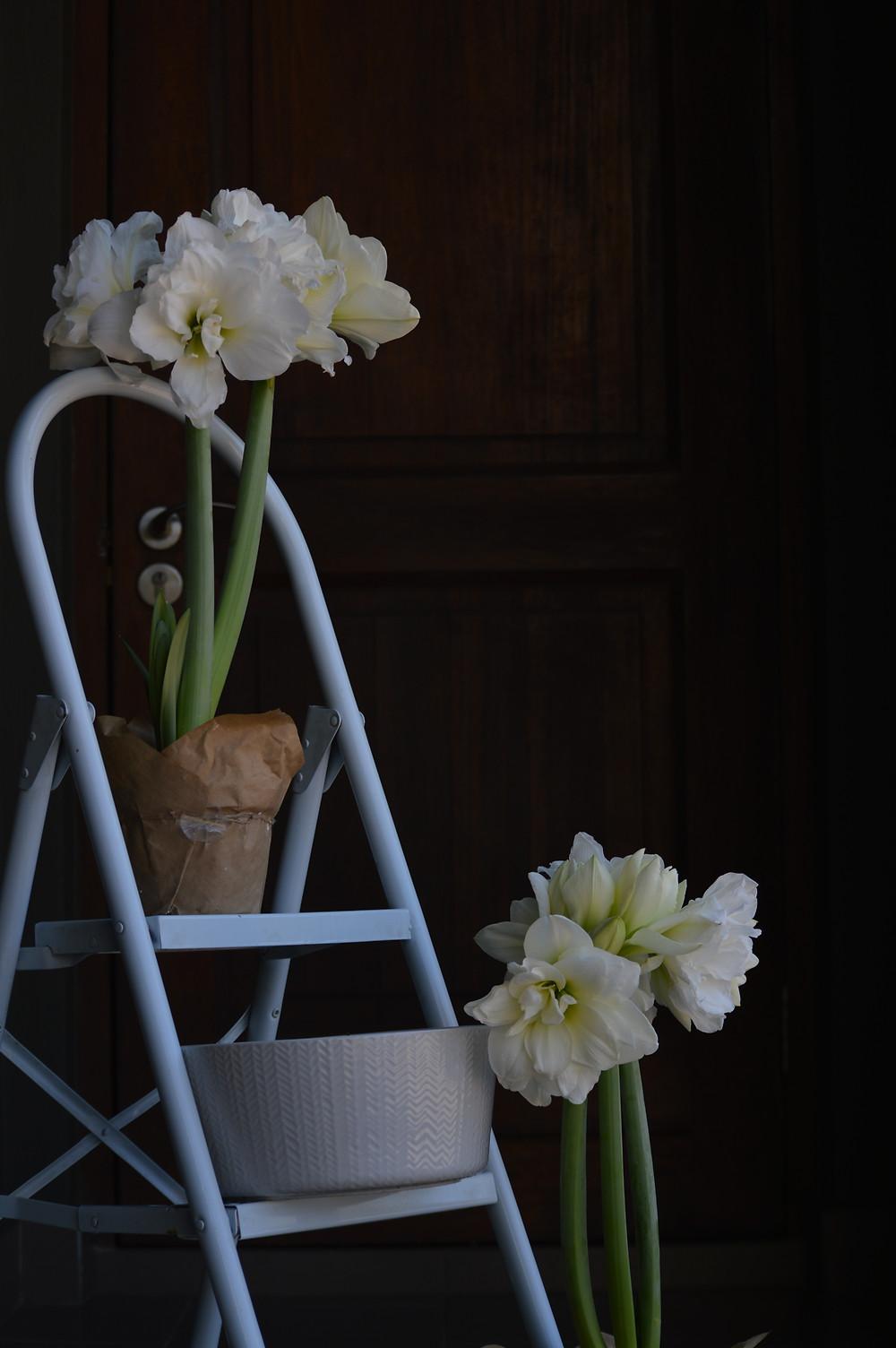 Flower Photography, Amaryllis, plants for shade, entrance garden