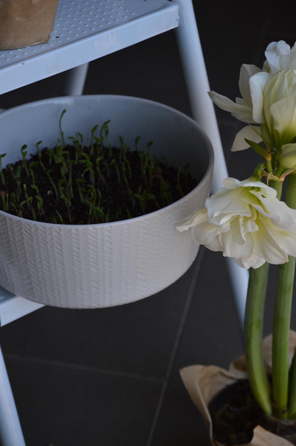 Microgreens, Pea shoots, Peas food photography, organic gardening, sustainable farming