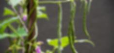 Organic Kitchen Gardens, Rattlesnake beans