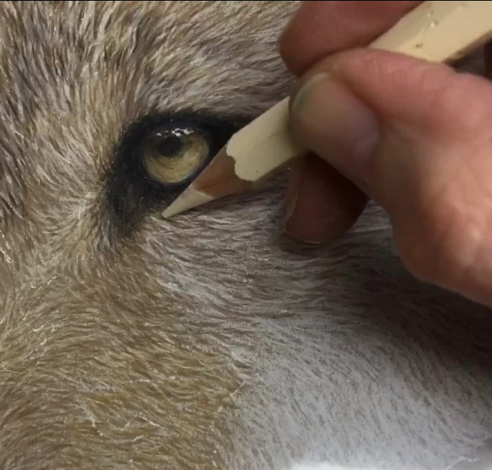 Artist Frances Whitman drawing a foxes eye, using Faber Catell watercolour pencils
