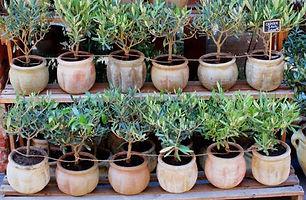 jeunes-oliviers-en-pots (2).jpg