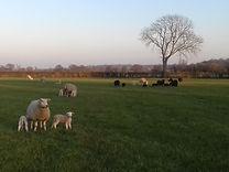 lambs evening 2.jpg