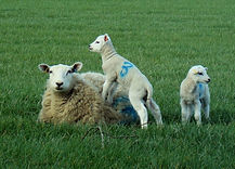 lambs out 1 (2).JPG