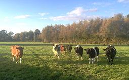 autumn cows2.JPG