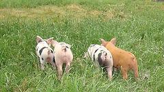 Free range pigs Llandrinio, Welshpool, Shrewsbury