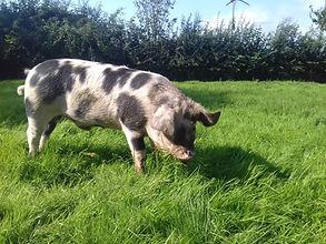 pigs in grass 3.jpg