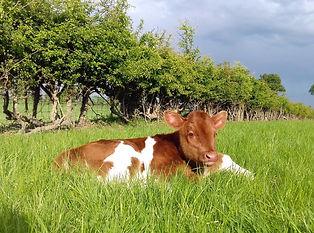 Kara calf 1.jpg