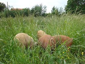pigs grass.JPG