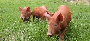 Free Range pork Llandrinio