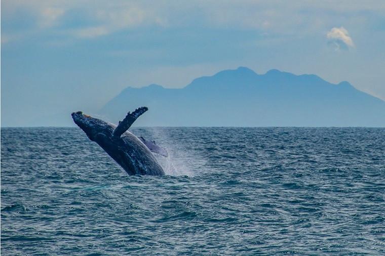 Baleia na costa do Espírito Santo. Foto: Leonardo Merçon/Instituto Últimos Refúgios/Amigos da Jubarte