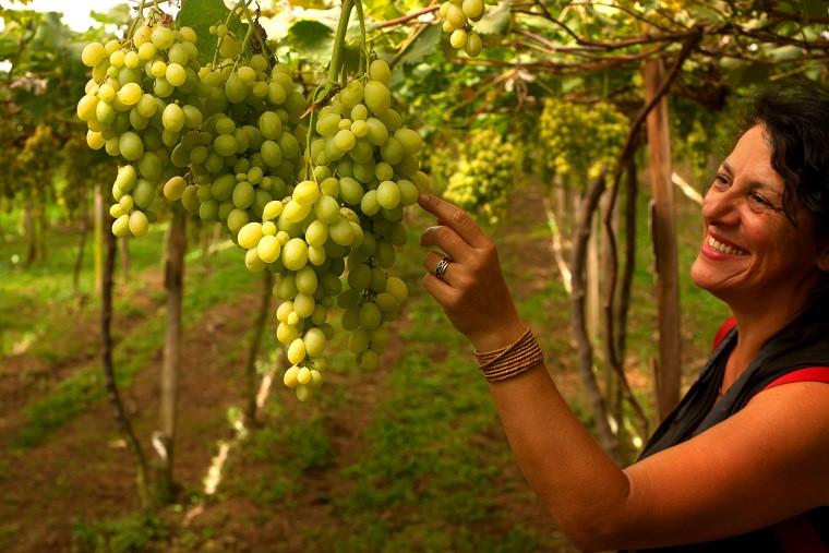 Bento Gonçalves celebra a colheita da uva, no verão da Serra Gaúcha