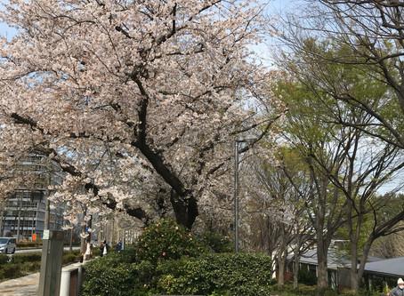 桜 四ツ谷 - 市ヶ谷