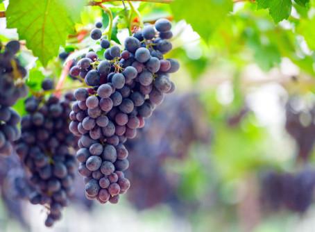 O que são os taninos presentes na uva do vinho e quais as suas funções?