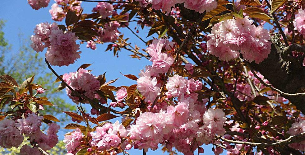 cherry-blossoms-c.jpg