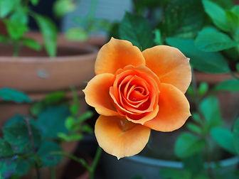 flower-115646_960_720.jpg