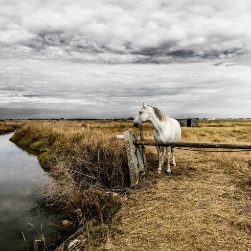 Cheval blanc - ile de Noirmoutier