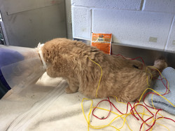 Acupuncture for paralyzed hind limbs