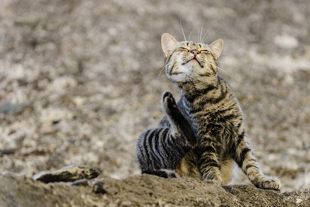 Cat scratching - Relive Pet allergies at WildLifeRx