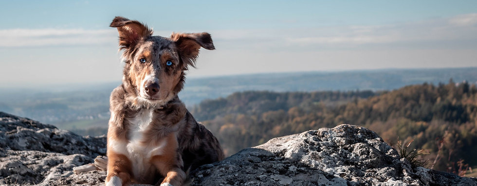 Dog on hill - WildLifeRX Shop CBD for Pets