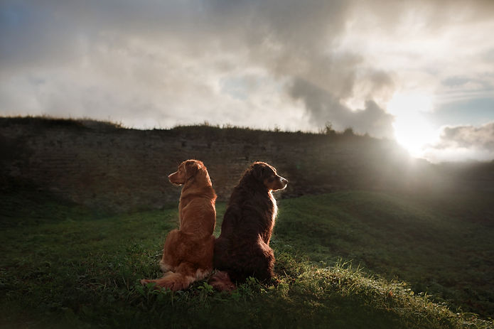 2 Dogs out on a walk in a field
