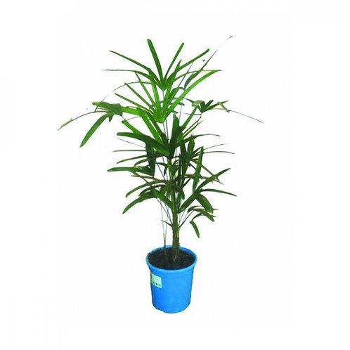 Palmeira Rhapis P24