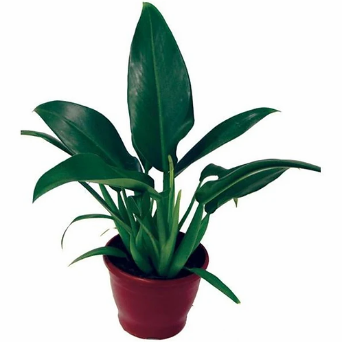 PHILODENDRON PACOVA - P15