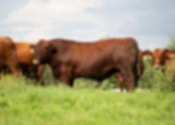 red-angus-beef-bull-6950-1.jpg