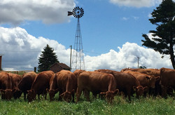Cows by the windmill
