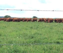 Heifers in the field