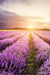 Sun coming up over the lavender fields