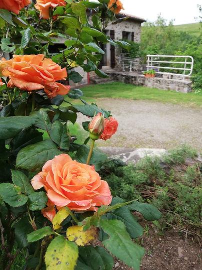 Roses orange fluo
