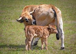 cow-3694828_1920