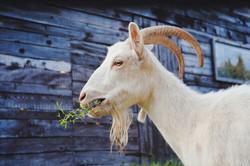 goat-5541947_1920